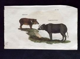 Brightly (Pub) 1811 Antique Hand Col Print. Pecary, Babyroussa